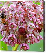 Honeybee On Milkweed Acrylic Print