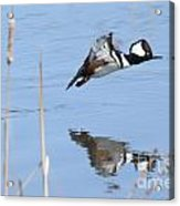 Hooded Merganser Flying Acrylic Print