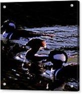 Hooded Mergansers And Moon Glare Acrylic Print