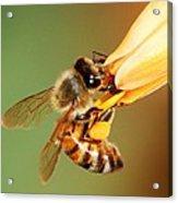 Hooked Bee Acrylic Print
