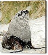 Hooker's Sea Lion Acrylic Print