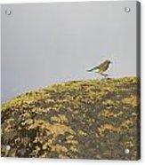 Hopping Blue Bird Acrylic Print