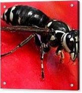 Hornet On Red Acrylic Print