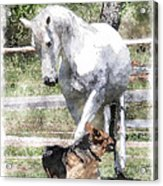 Horse And Dog Play Acrylic Print