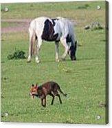 Horse And Fox Acrylic Print