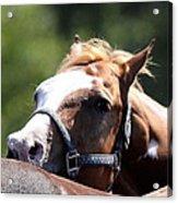 Horse At Mule Days 2012 - Benson Acrylic Print