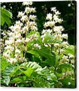 Horse Chestnut Blossoms Acrylic Print