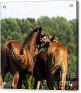 Horse Foul Play IIi Acrylic Print