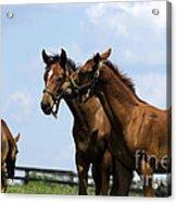 Horse Foul Play Vi Acrylic Print