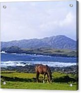 Horse Grazing In A Field, Beara Acrylic Print by The Irish Image Collection