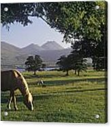 Horse Grazing On A Landscape Acrylic Print by The Irish Image Collection