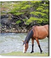 Horse Grazing Acrylic Print by Thanks for choosing my photos.