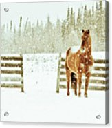 Horse In A Snowstorm Acrylic Print by Roberta Murray - Uncommon Depth