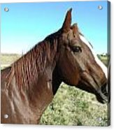 Horse In Chocolate Acrylic Print by Brian  Maloney