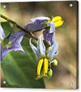 Horse Nettle Nightshade - Solanum Carolinense Acrylic Print