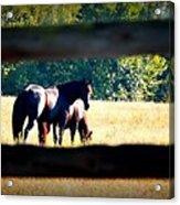 Horse Photography Acrylic Print