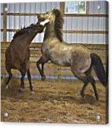 Horse Play Acrylic Print by Dean Bennett