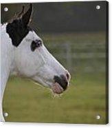 Horse Portrait Acrylic Print by Ralf Kaiser