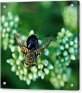 Horsefly No Bother Me Acrylic Print