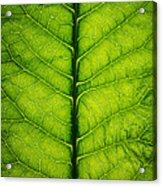 Horseradish Leaf Acrylic Print