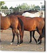 Horses-31 Acrylic Print