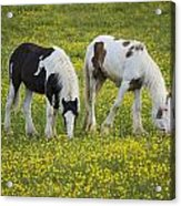 Horses Grazing, County Tyrone, Ireland Acrylic Print