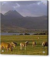 Horses Grazing, Macgillycuddys Reeks Acrylic Print