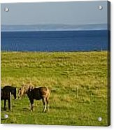 Horses In A Field, Guernsey Cove Acrylic Print
