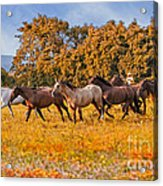 Horses Running Free Acrylic Print