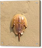 Horseshoe Crab In The Sand Campground Beach Cape Cod Eastham Ma Acrylic Print