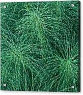Horsetail Fern Acrylic Print