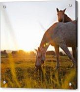 Hose Grazing In Rural Field Acrylic Print