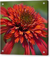Hot Papaya Hybrid Coneflower Acrylic Print