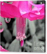 Hot Pink Cactus Acrylic Print