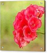 Hot Pink Geranium Acrylic Print