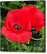 Hot Poppy Acrylic Print