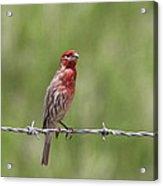 House Finch - Content Acrylic Print