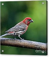 House Finch Bird . 40d8331 Acrylic Print by Wingsdomain Art and Photography