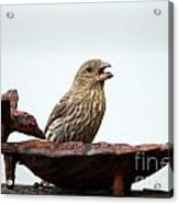 House Finch Eating Jelly Acrylic Print