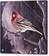House Finch Looking At Me Acrylic Print