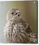 House Finch Profile Acrylic Print