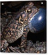 Houston Toad Acrylic Print