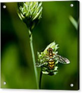 Hoverfly On Grass Acrylic Print