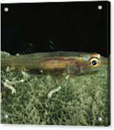 Hovering Goby On A Green Sponge, Fiji Acrylic Print