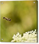Hovering Over Acrylic Print