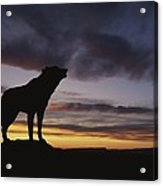 Howling Wolf Silhouetted Against Sunset Acrylic Print