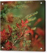 Huckleberry Leaves In Fall Color Acrylic Print by One Rude Dawg Orcutt
