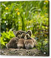 Huddled Goslings Baby Geese Along River's Edge Acrylic Print