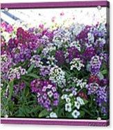 Hues Of Purple Phlox Acrylic Print