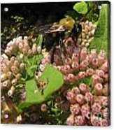 Huge Bumble Bee Acrylic Print